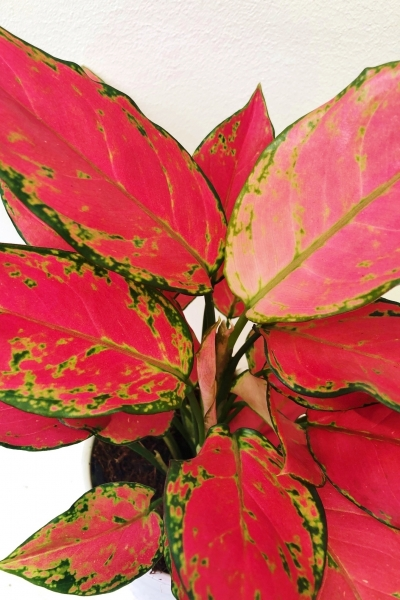 Kolbenfaden (Aglaonema) Red Neue Sorte