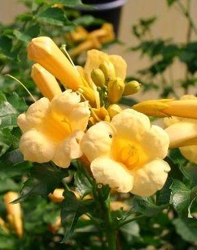 Klettertrompete mit leuchtenden trompetenartigen Blüten