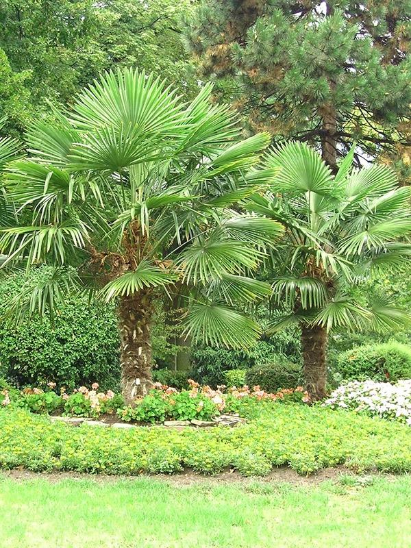Die Hanfpalme Pflegeleichte Freilandpalme Mit Tropischem