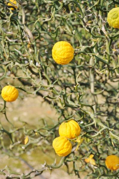 Dreiblättrige Orange (Bitterorange)
