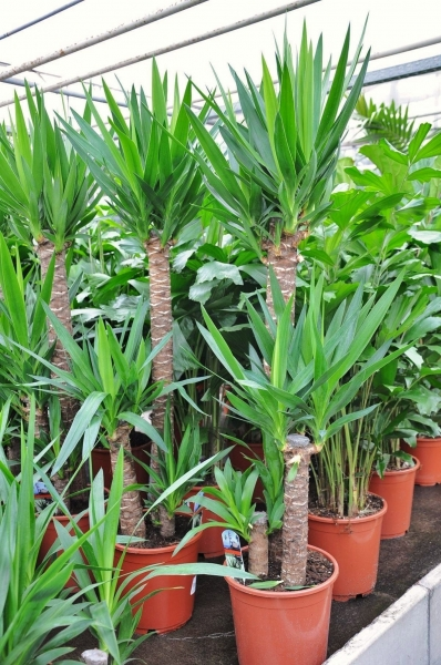 Yuccapalme (Riesen-Palmlilie) 3er