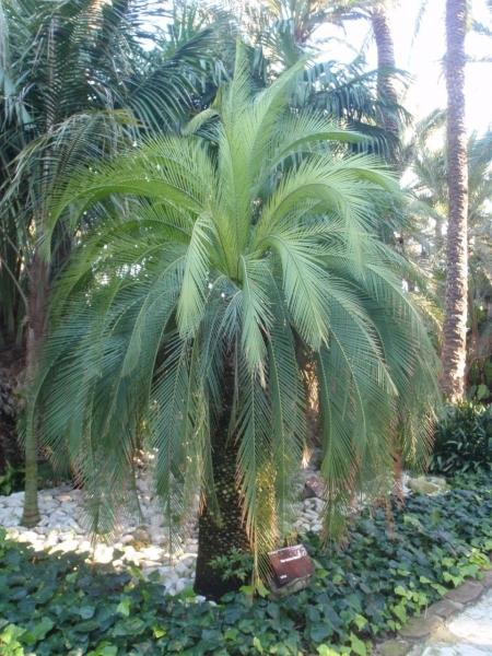 Palmfarn Macrozamia