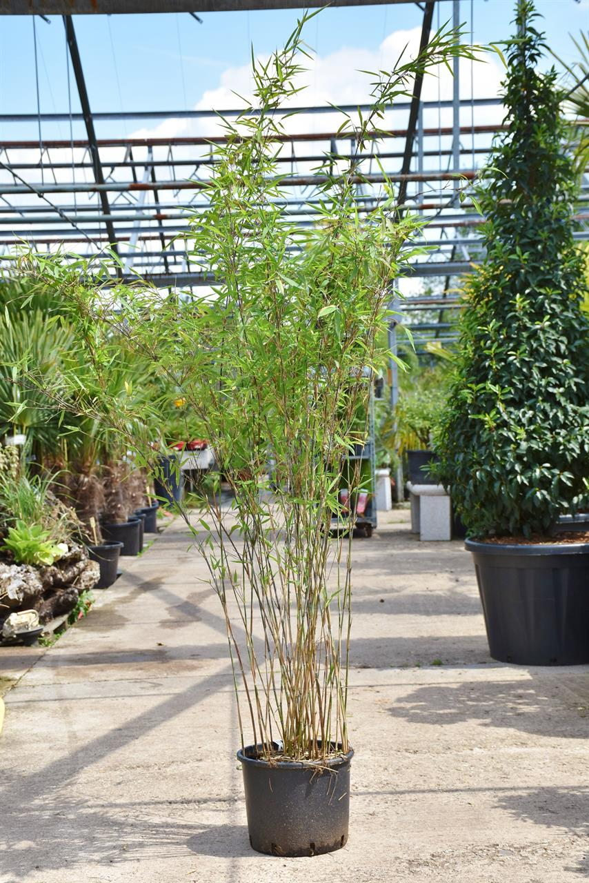 Bambus (Fargesia Black Pearl) 10 Liter