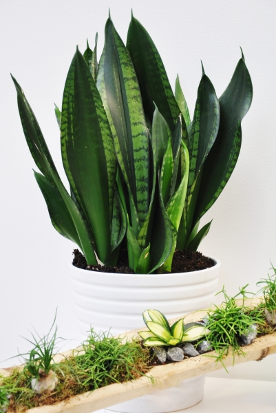 Sansevieria (Bogenhanf) Silver Flame