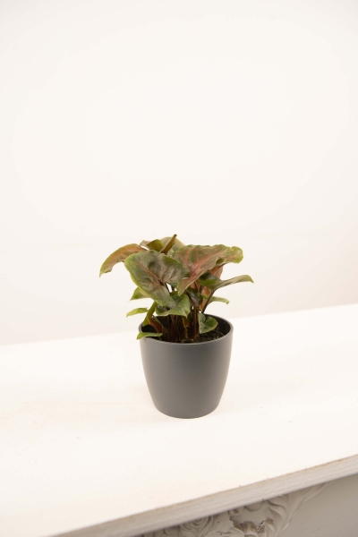 Mini Syngonium maria allusion