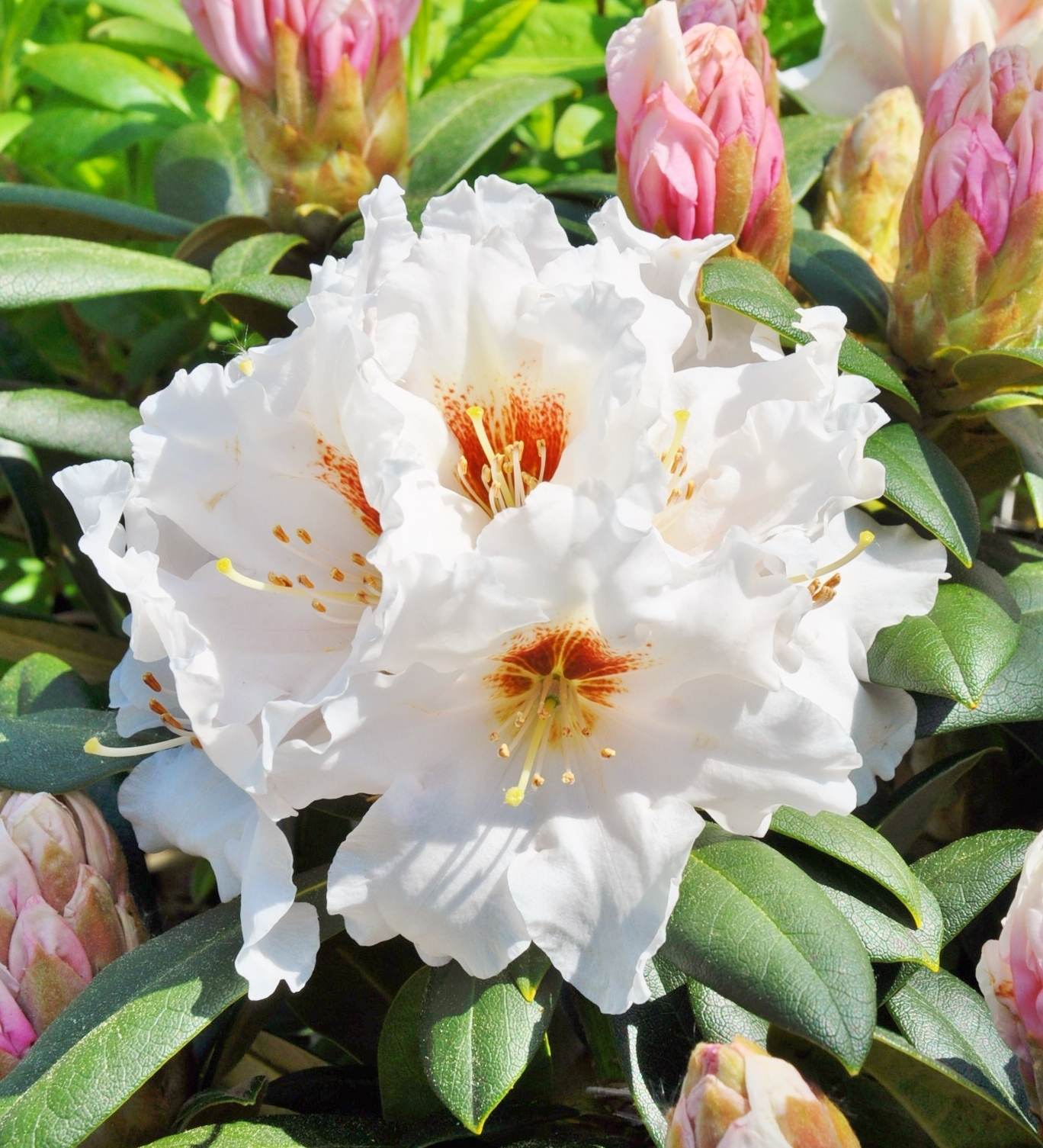 rhododendron yakushimanum bohlken 39 s snow fire. Black Bedroom Furniture Sets. Home Design Ideas