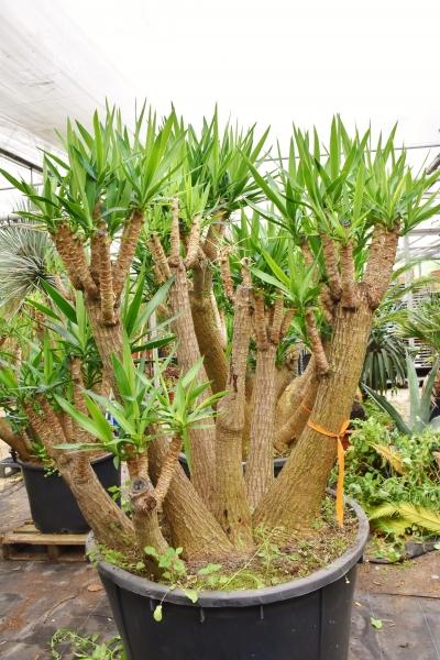Yuccapalme (Riesen-Palmlilie) verzweigt