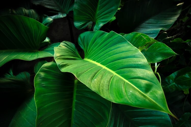 shutterstock_502511920_Philodendron-imperal-green_imnoom