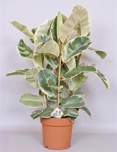 Ficus (Gummibaum) Tineke