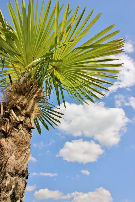 die robuste hanfpalme so gelingt das auspflanzen im garten der palmenmann. Black Bedroom Furniture Sets. Home Design Ideas