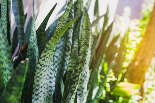 AdobeStock_222011207_full-frame-shot-of-houseplant-sansevieria_JK2507_tiny_750