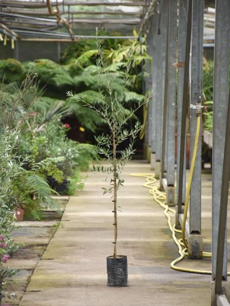 Olivenbaum (Pendolino) bis -20°C frostverträglich
