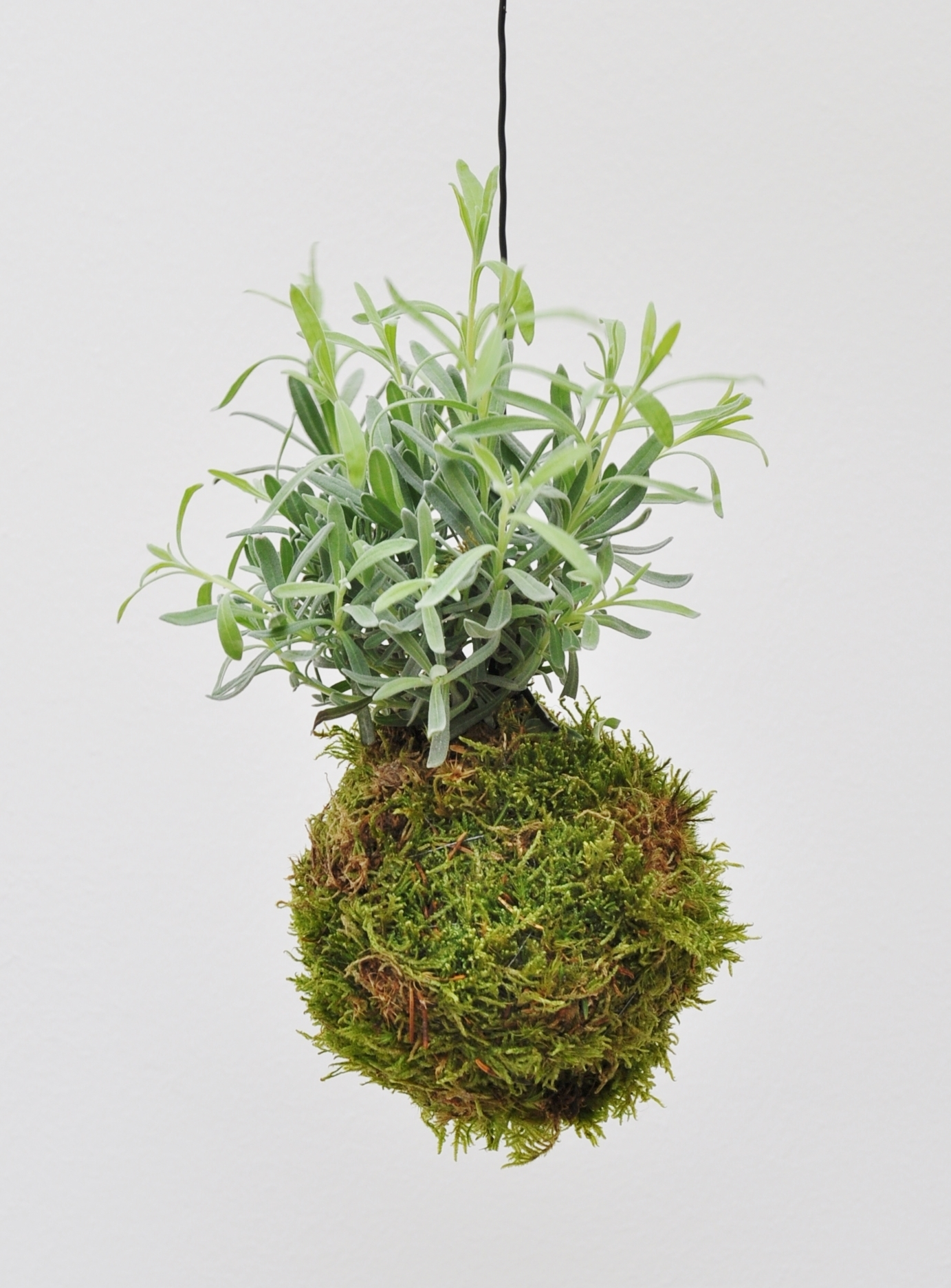 kokedama moosball lavendel kr uter pflanzen der palmenmann. Black Bedroom Furniture Sets. Home Design Ideas