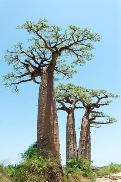 Afrikanische Affenbrotbaum (Baobab)