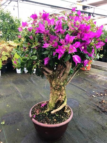 Bougainvillea (Drillingsblume) Knorrig