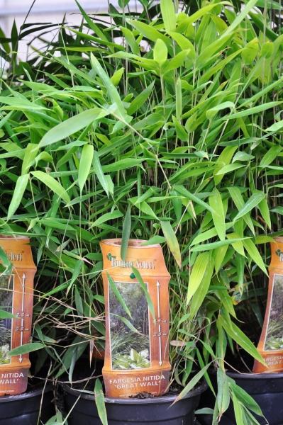 Bambus (Fargesia Great Wall) 2 Liter