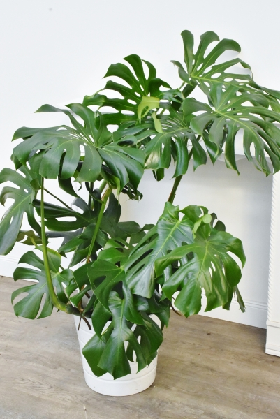 Fensterblatt (Busch) groß