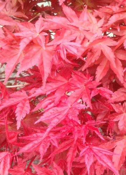 Roter Fächerahorn (Beni Maiko)