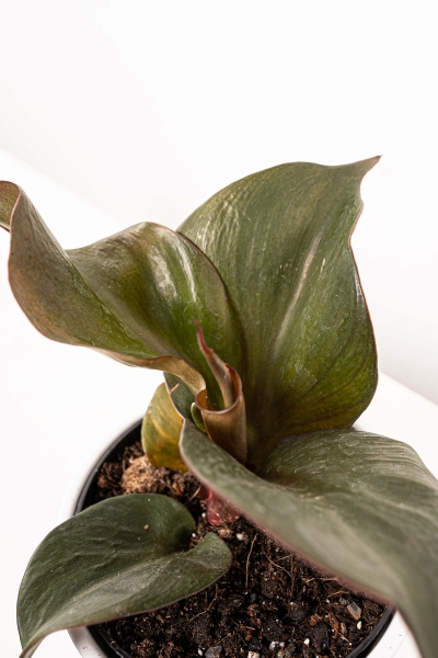 Philodendron 'Red Heart'