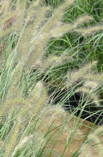 Lampenputzergras (Hameln)