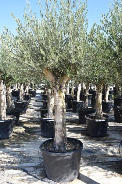 Olivenbaum (Hojiblanca) frosthart