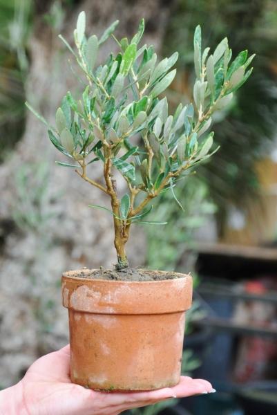 Olivenbaum (Kleiner Olivenbaum)