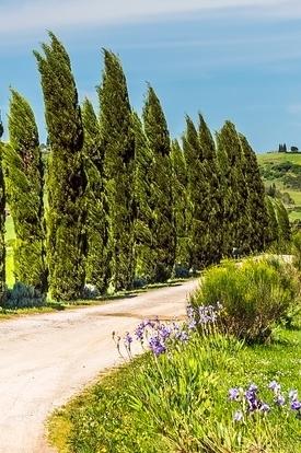 Zypressen Mix (Toskana Zypresse) 5 Pflanzen