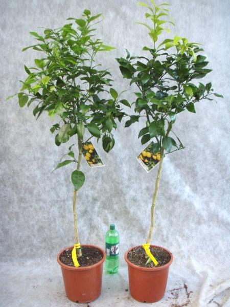 Grapefruitbaum (Pampelmuse, Pomelo) aus Spanien