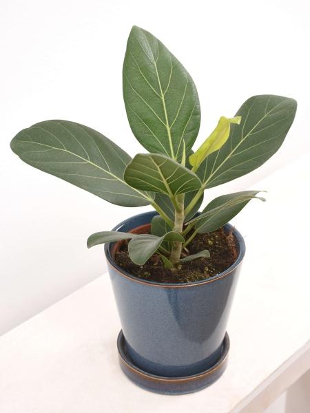Ficus (Banyan-Feige, Bengalische Feige) Audrey