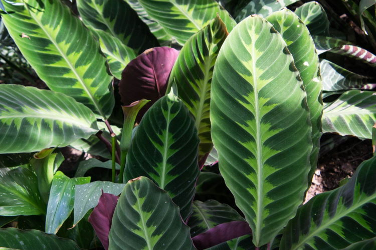 shutterstock_1168926415_Zebra-Plant-close-up-Calathea-zabrina-Arrowroot-Family_tiny_750