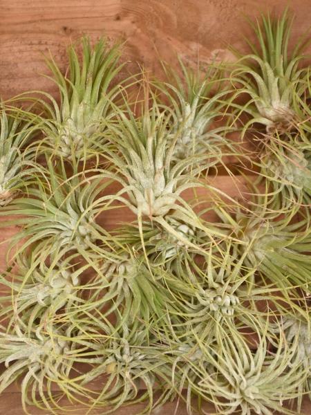 Aufsitzerpflanze für begrünte Wände