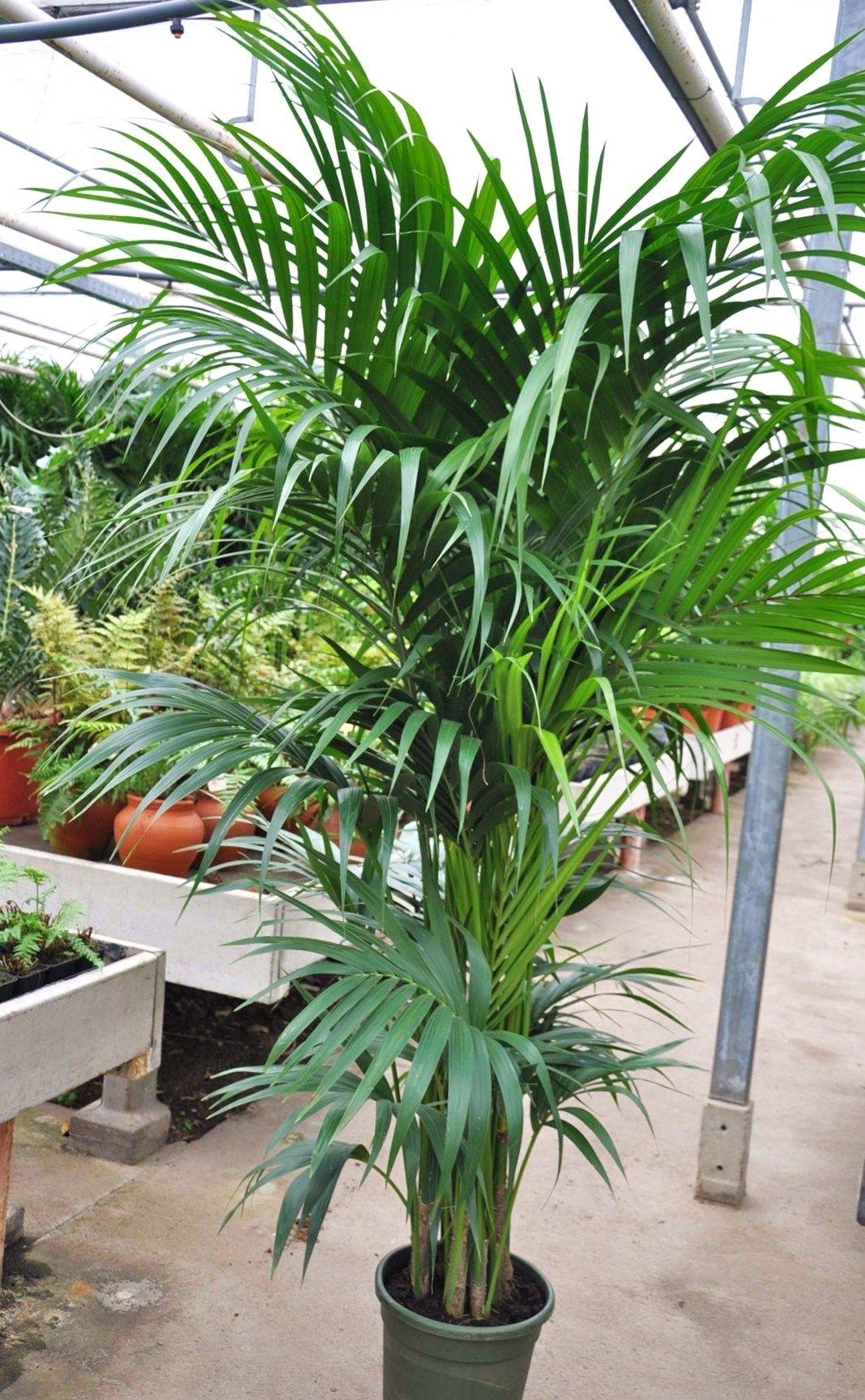kentia palme 7 8er tuff palmen pflanzen der palmenmann