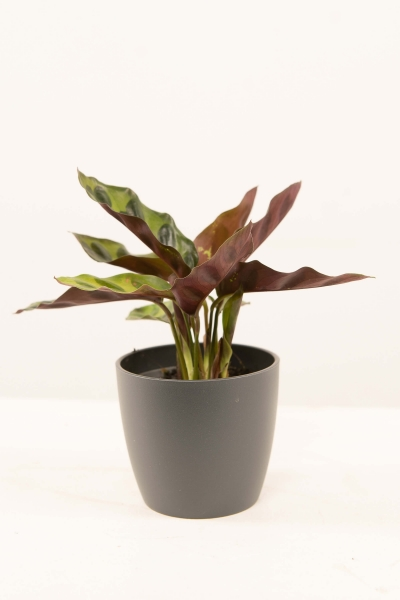 Mini Calathea lancifolia