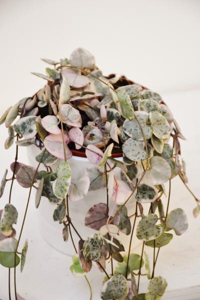 Leuchterblume variegata (Rarität)