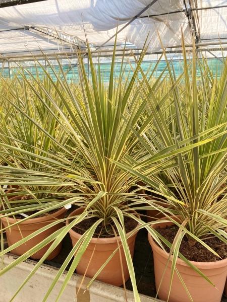 Keulenlilie variegata