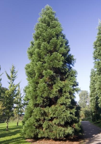 Bergmammutbaum (glaucum)