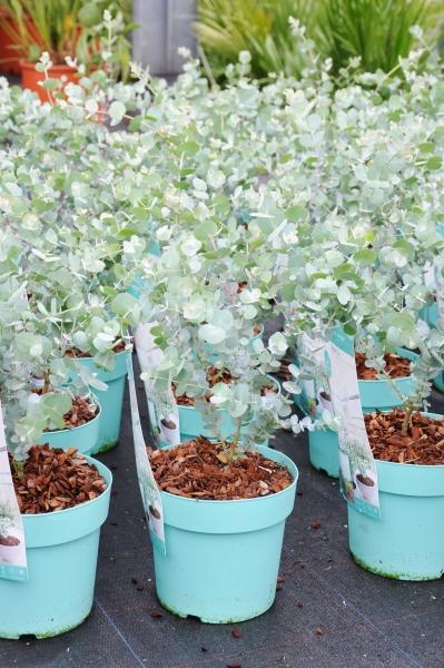 Eucalyptus (Blaugummibaum) Azura