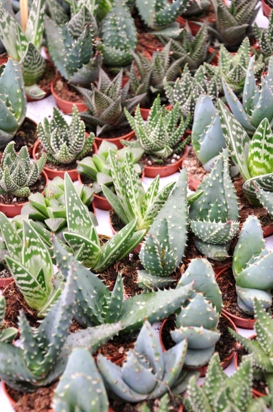 Aloen Mix (5 Pflanzen)
