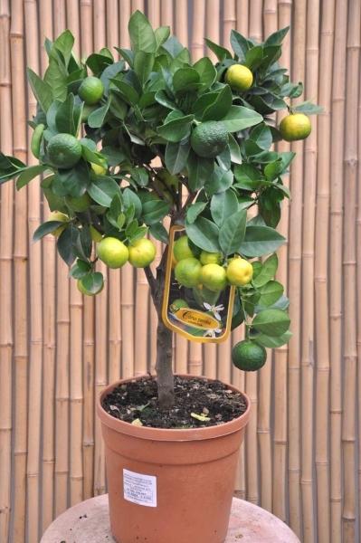 Limettenbaum (Römische Limette) Pursha aus Italien