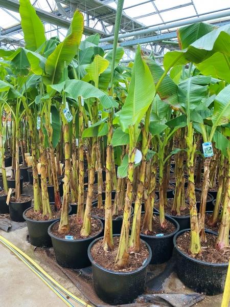 Bananenstaude (frostverträglich) 3er Gruppe