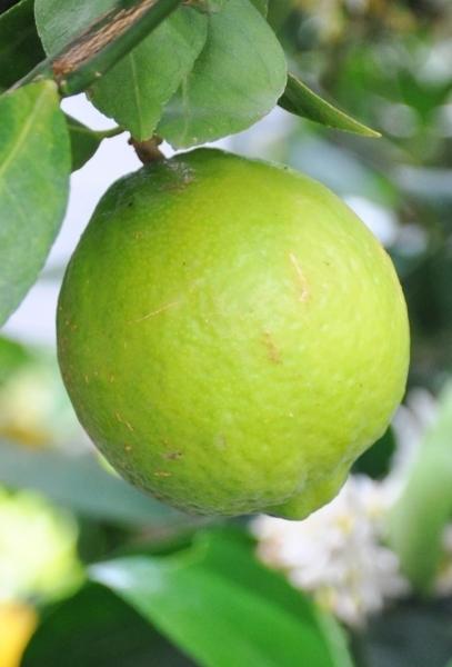 Limettenbaum (Mexikanische Limette) Lime aus Italien
