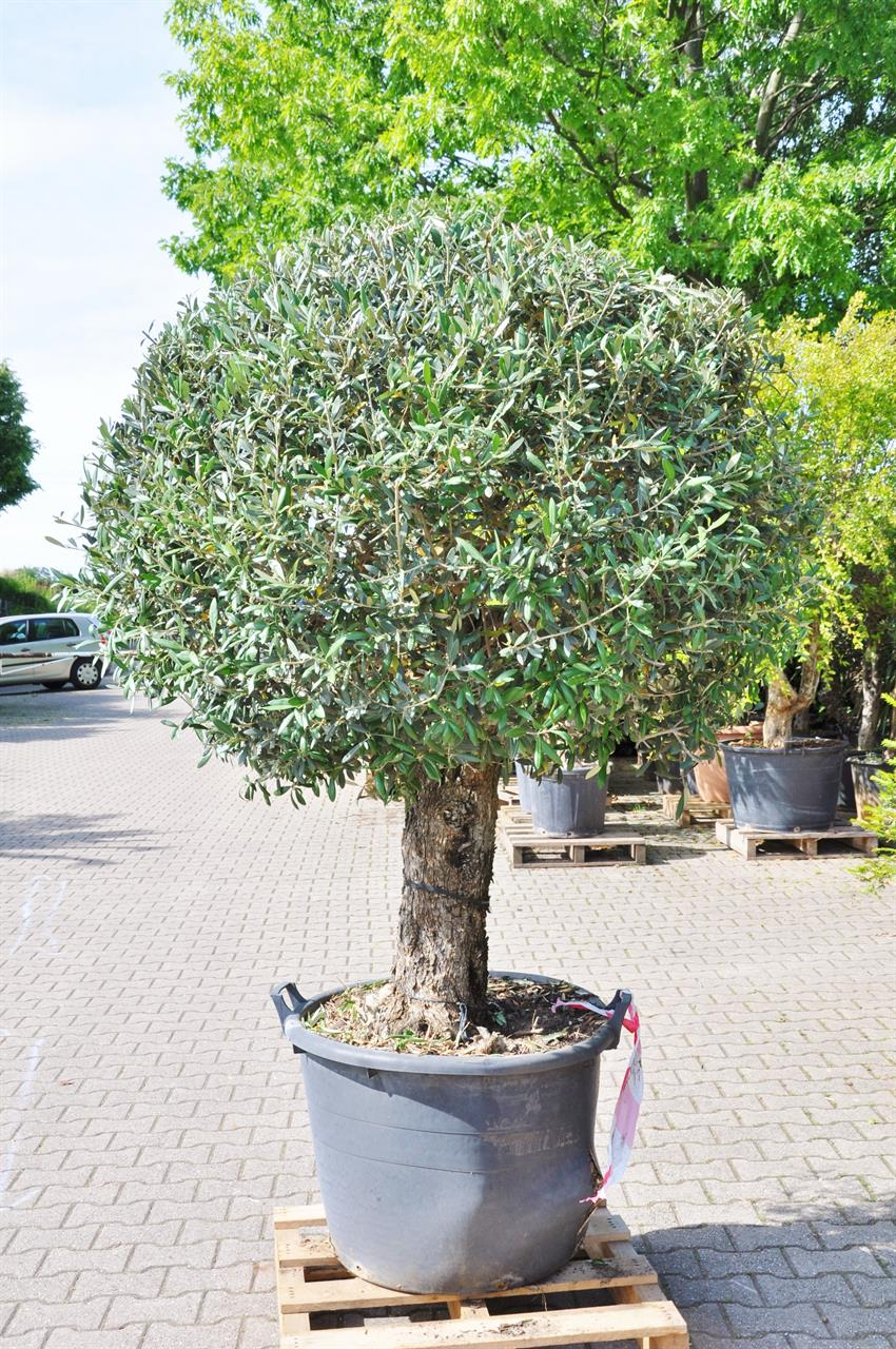 Olivenbaum als Kugel