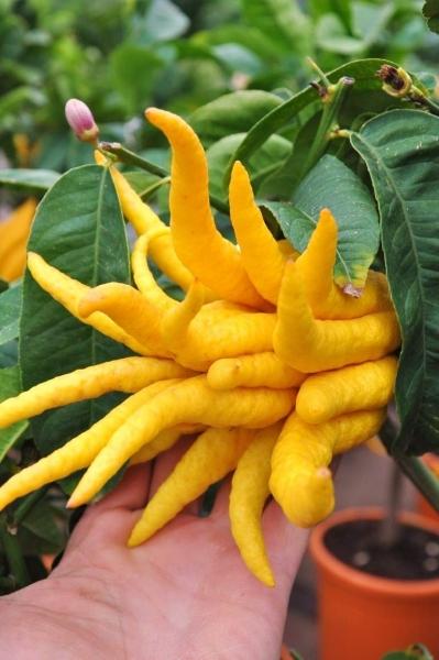 Zitronenbaum (Buddhas Hand) aus Italien