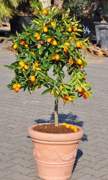 Kumquat (Zwergorange) aus Italien