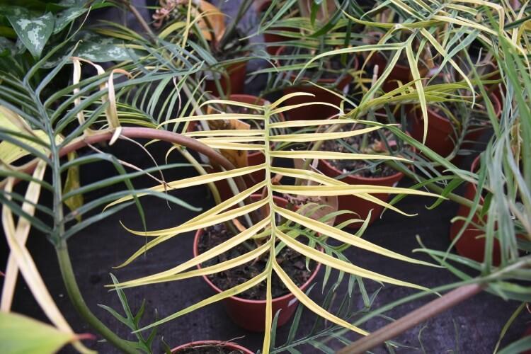 Philodendron-tortum_Palmenmann