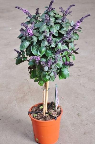 Violetter Strauchbasilikum
