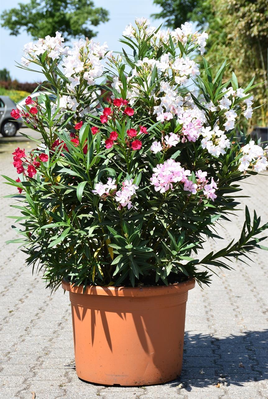 Oleander (Tricolor - 3 Farben) groß (Restposten)