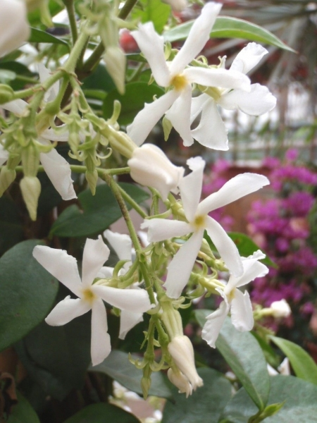 Sternjasmin Weiß