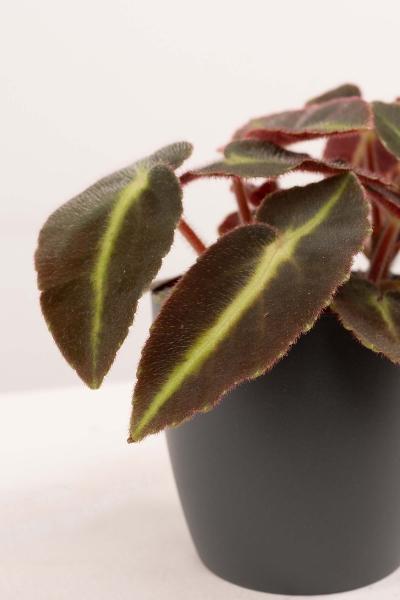 Mini Schiefblatt (Begonia listada) Rarität