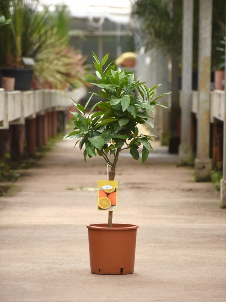 Orangenbaum (Italienische Orange)